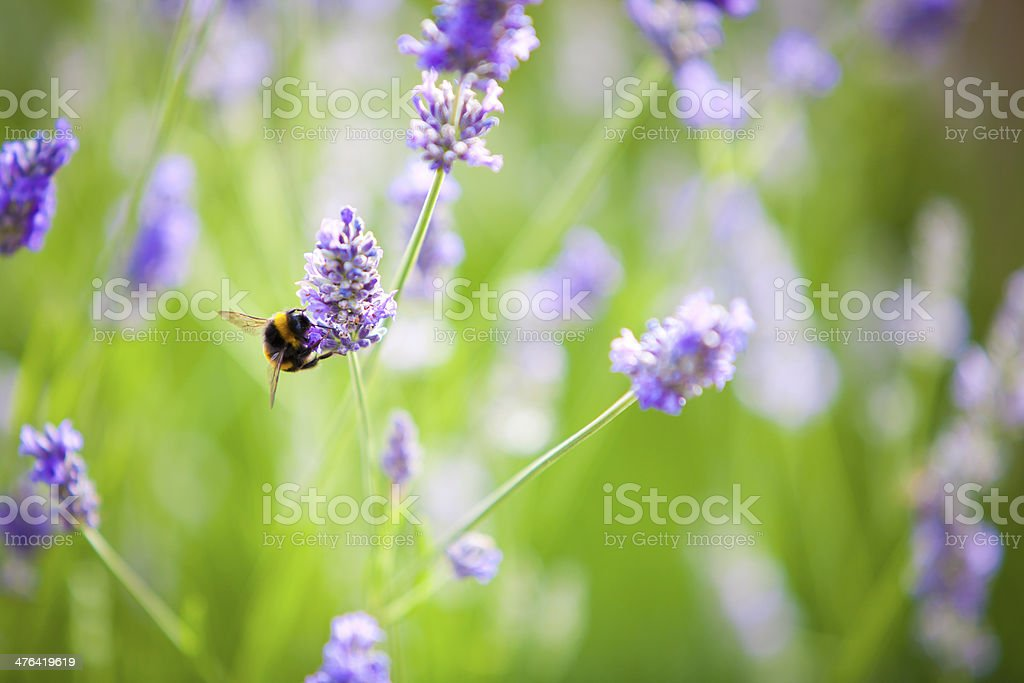 Bumblebee on Lavender flowers royalty-free stock photo