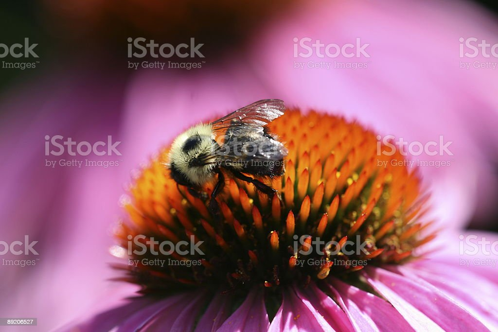 Bumblebee on Pink Echinacea Flower royalty-free stock photo