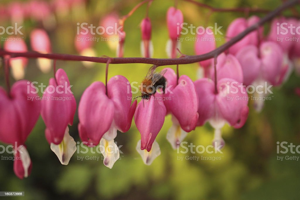 bumblebee on pink flower in the garden royalty-free stock photo