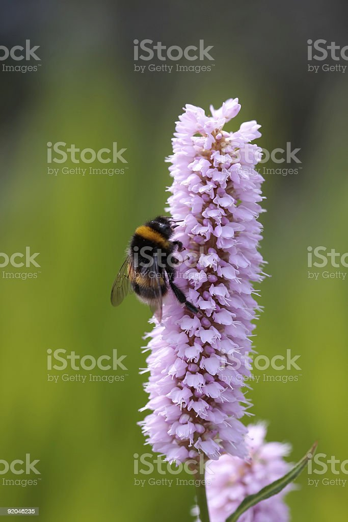 Bumblebee on pink flower royalty-free stock photo