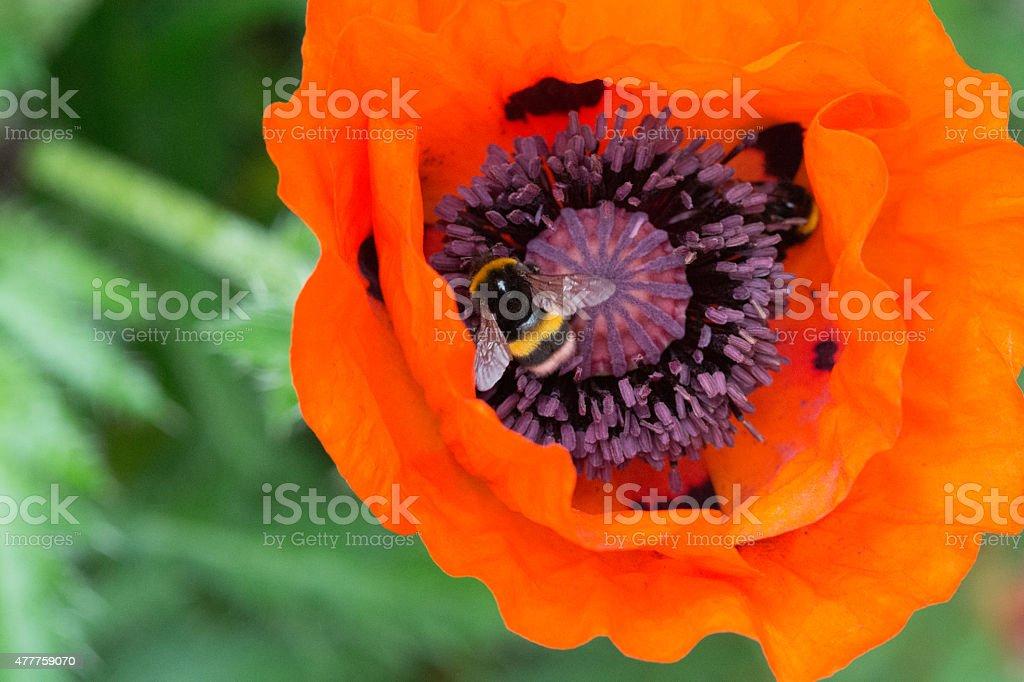 Bumblebee on poppy seed royalty-free stock photo