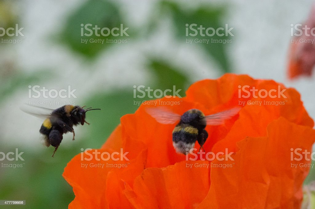 Bumblebee on poppy seed royalty-free stock photo
