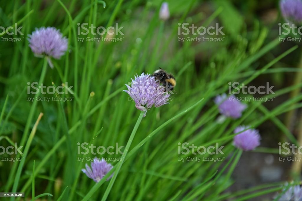Bumblebee on purple chive blossom stock photo