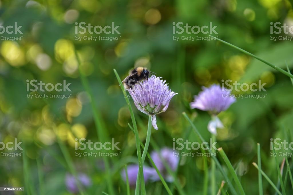 A Bumblebee on purple chive blossom stock photo