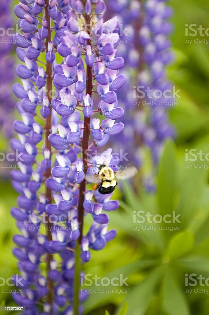 bumblebee on purple lupins royalty-free stock photo