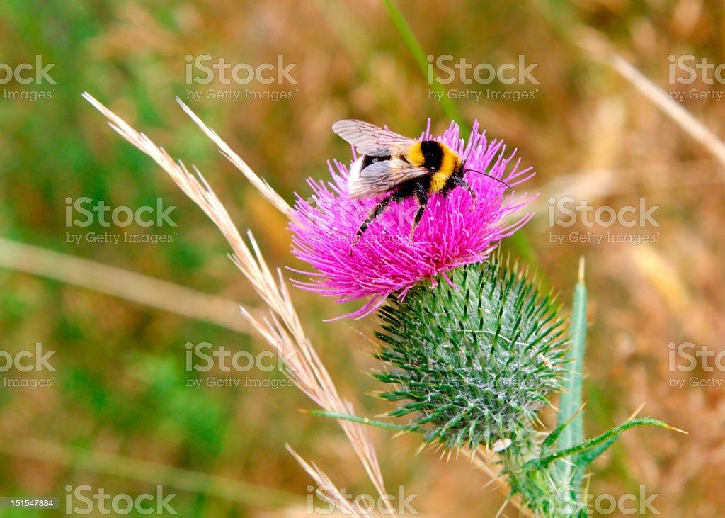 Bumblebee on scots thistle stock photo