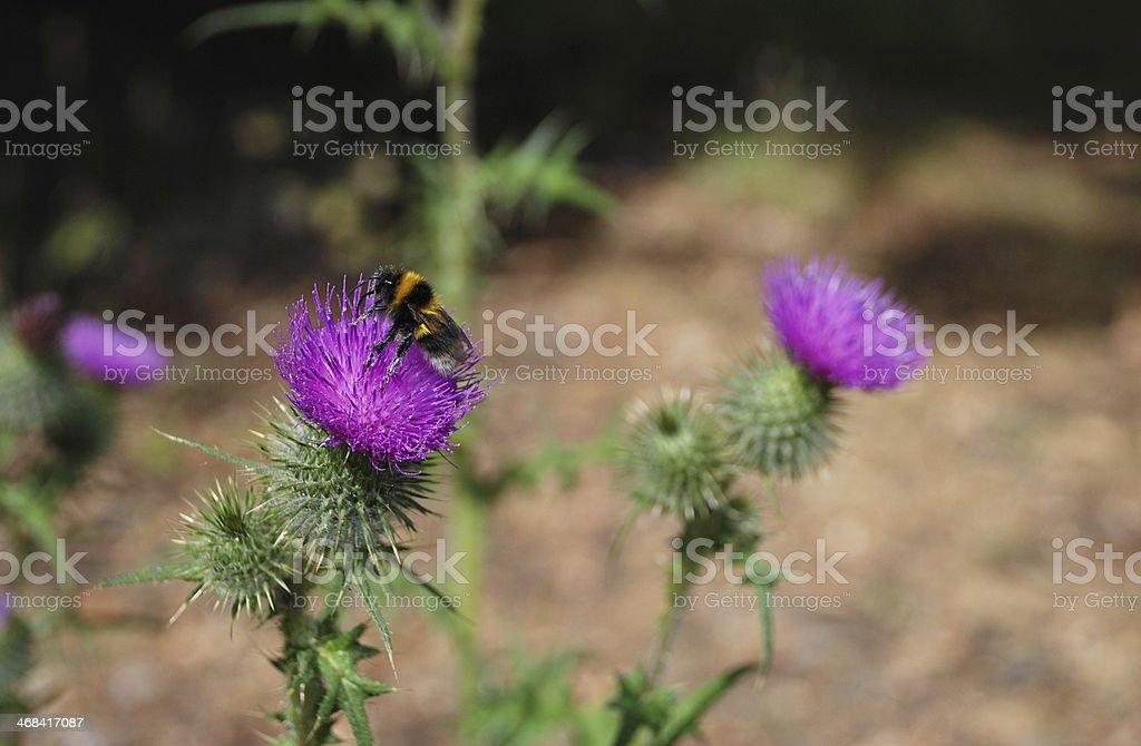 Bumblebee on Scottish emblem, the thistle royalty-free stock photo