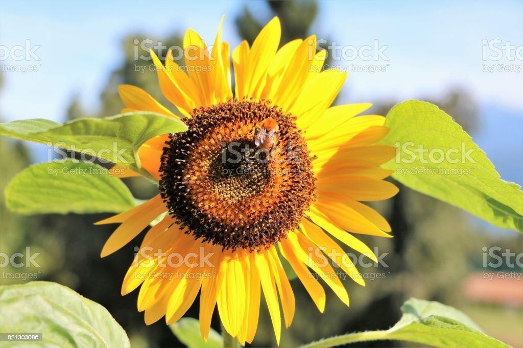 Bumblebee on sunflower in summer stock photo