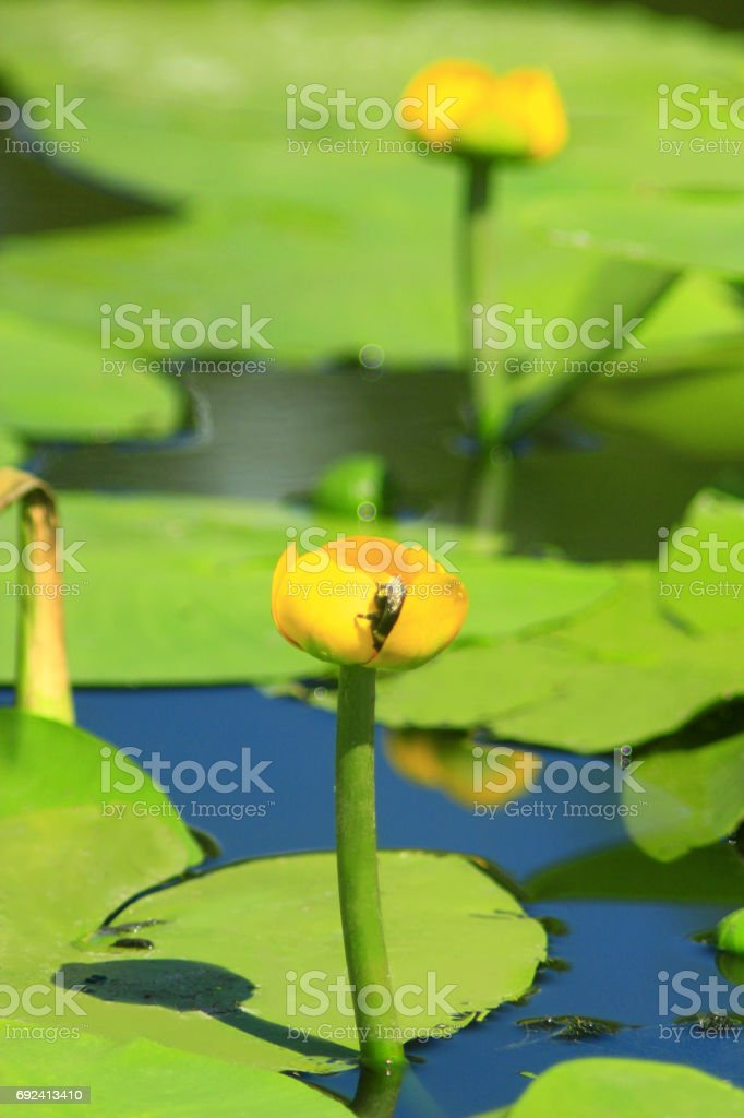 bumblebee on the flower of Nuphar lutea stock photo