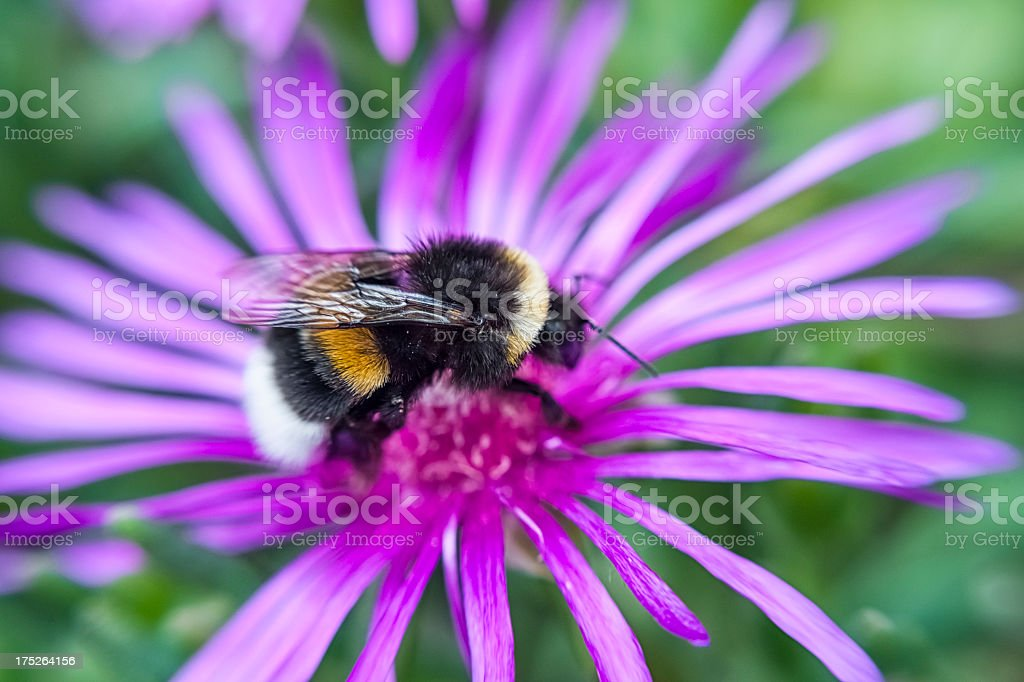 Bumblebee on the flower royalty-free stock photo