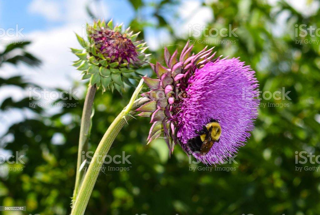 Bumblebee on Thistle stock photo