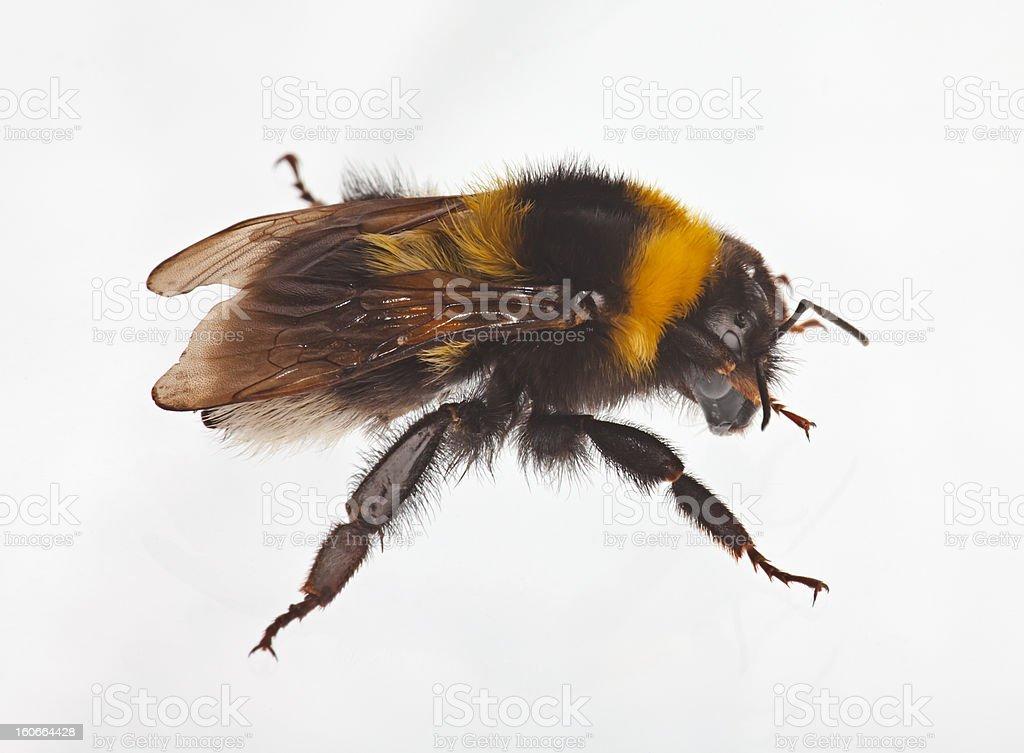 Bumblebee on white royalty-free stock photo