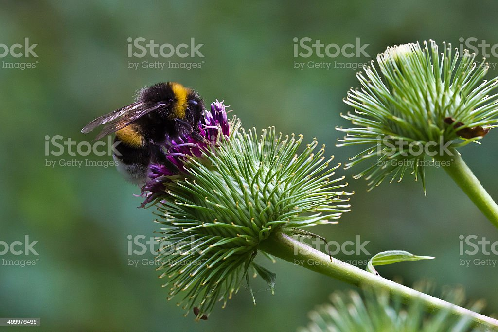 Hummel stock photo