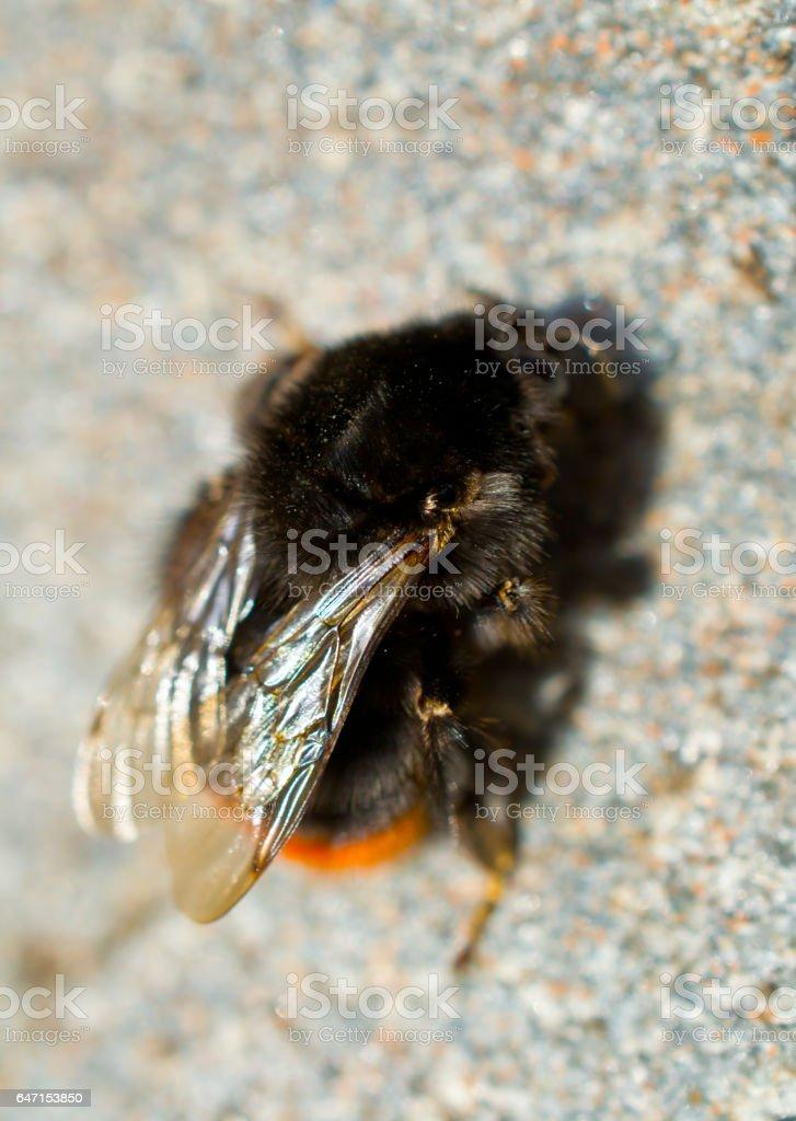 Bumblebee. stock photo