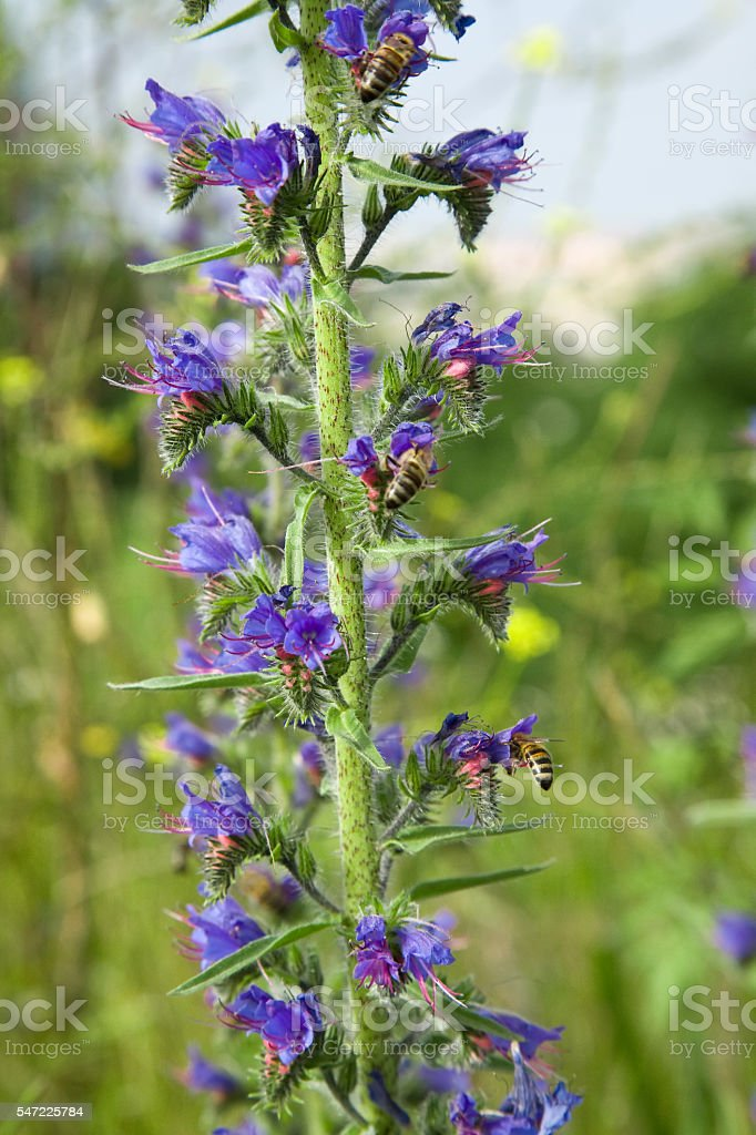 Bumblebee pollinates a blue weed plant stock photo