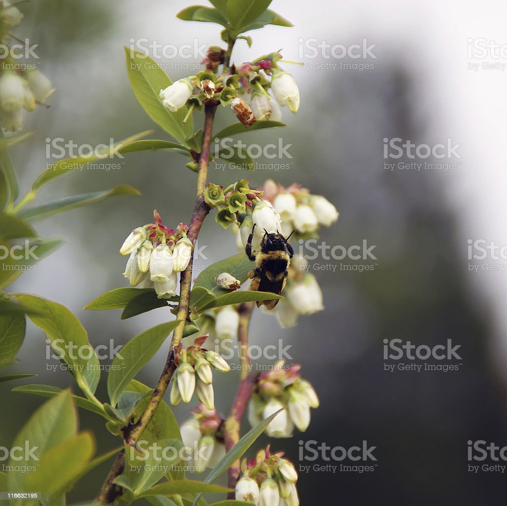 Bumblebee Pollinating Blueberries royalty-free stock photo
