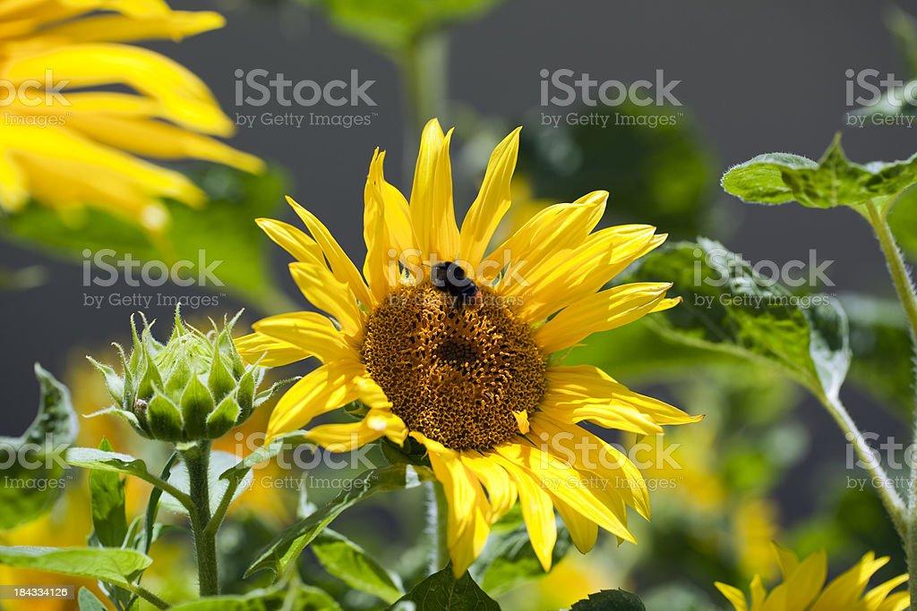 Bumblebee pollinating sunflower stock photo