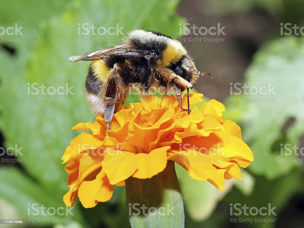 Bumblebee scratching stock photo
