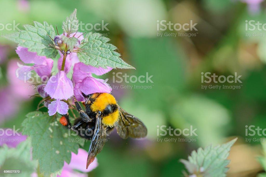 Bumble-bee sitting on flowers on blue background. Vivid  horizon stock photo