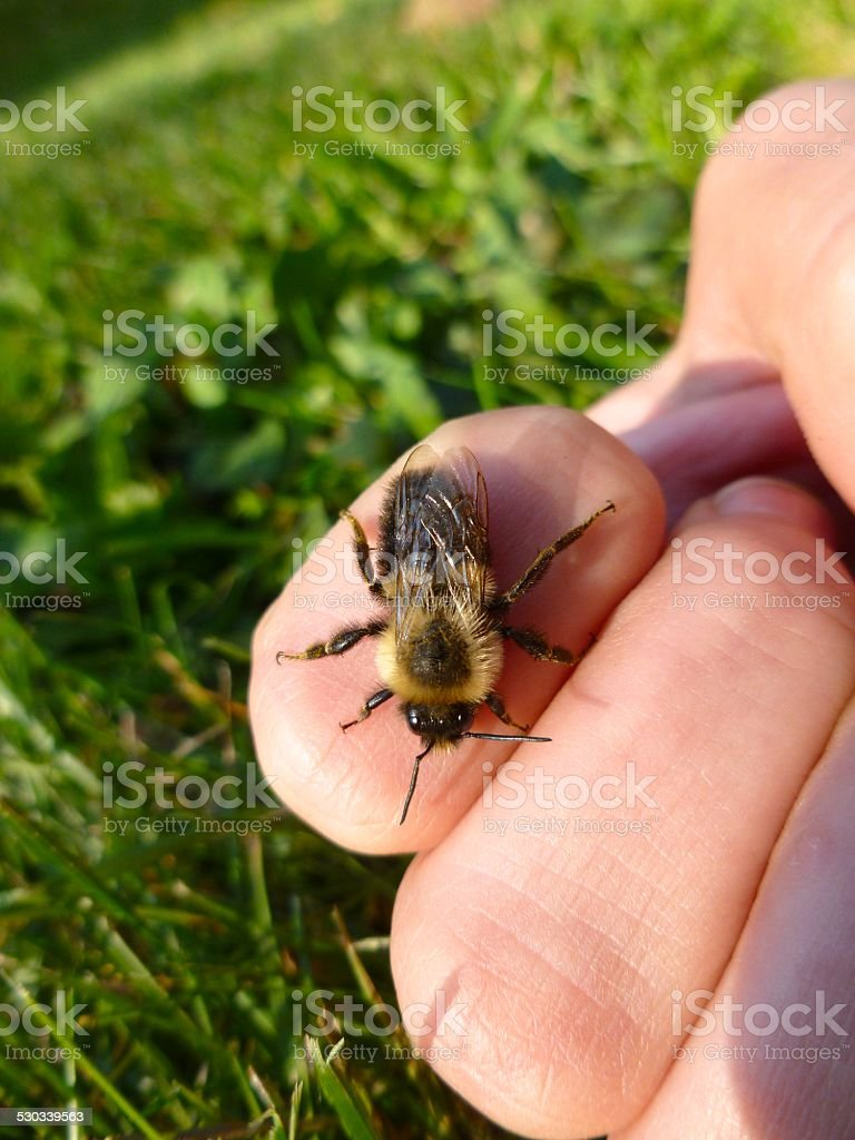 Bumblebee Stings Hand stock photo
