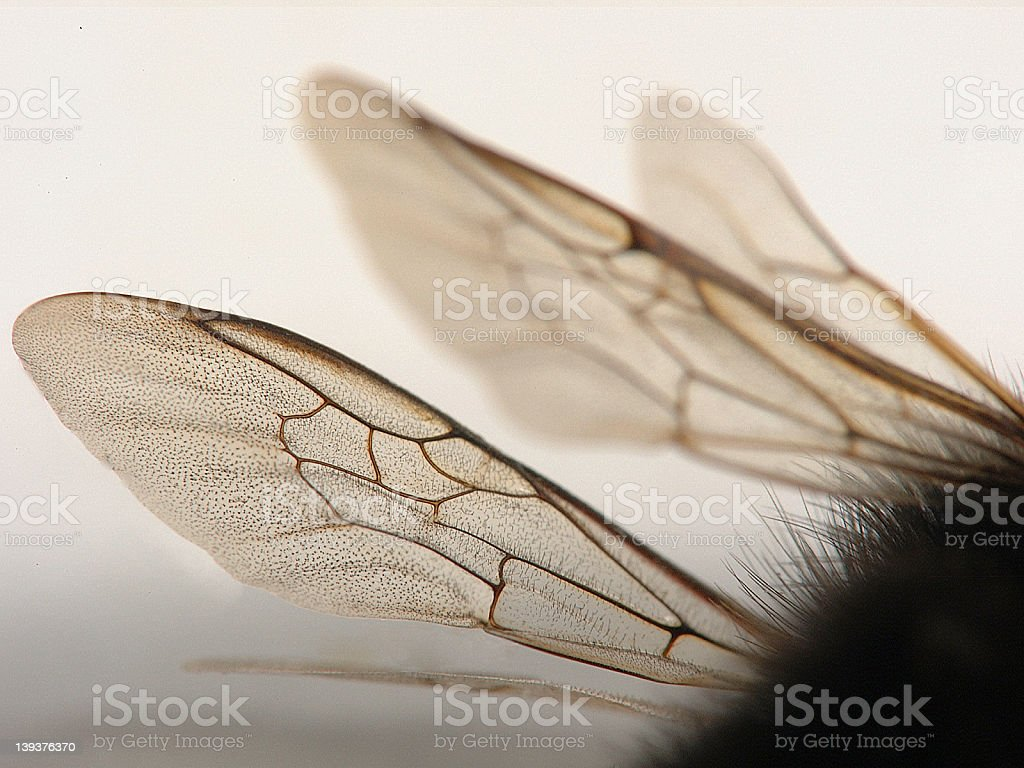 Bumblebee Wings royalty-free stock photo