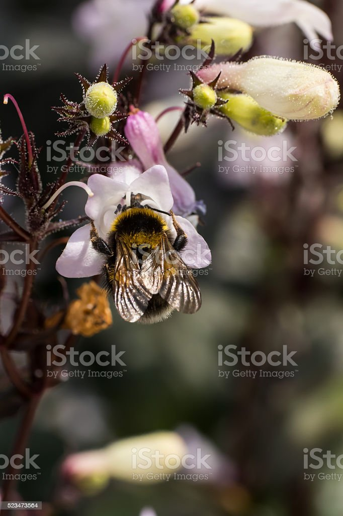 bumblebees and the Flowers - Springtime stock photo