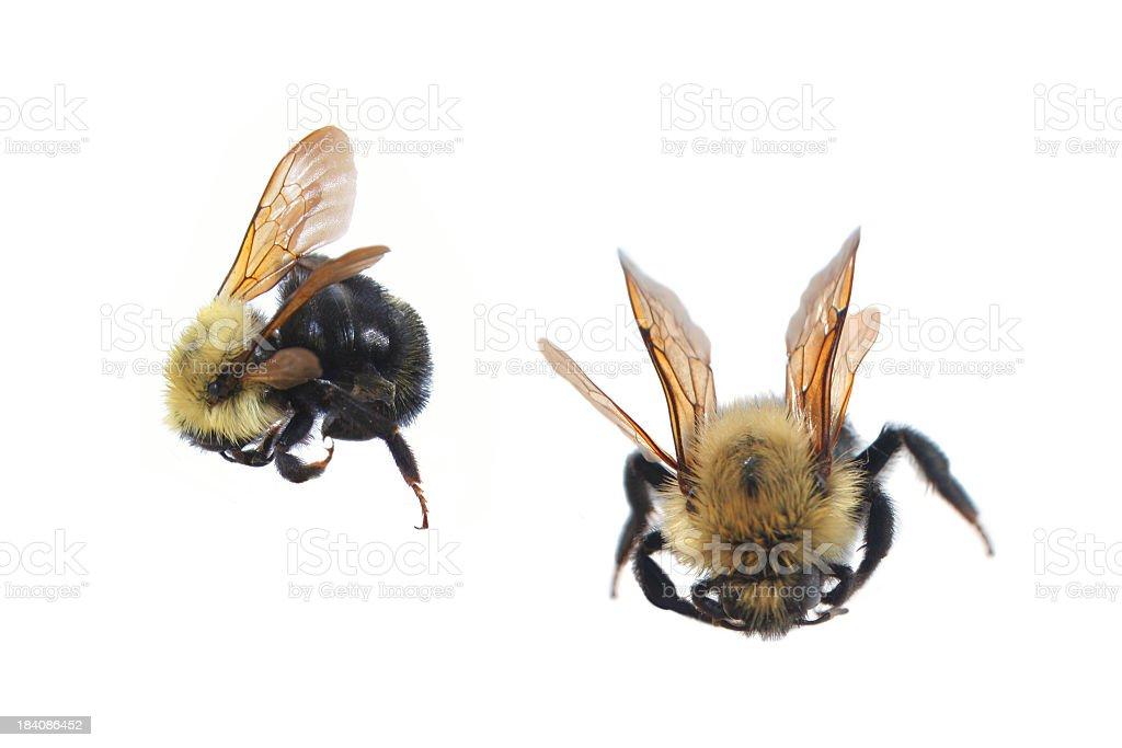 Bumblebees stock photo