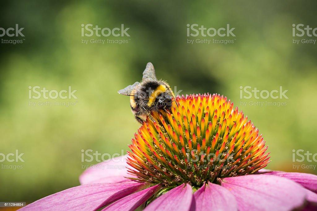 Bumple bee on a coneflower stock photo