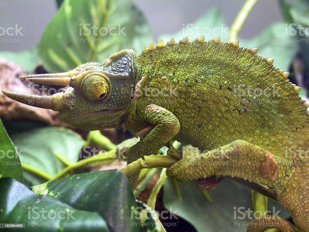 bumpy horned lizard royalty-free stock photo
