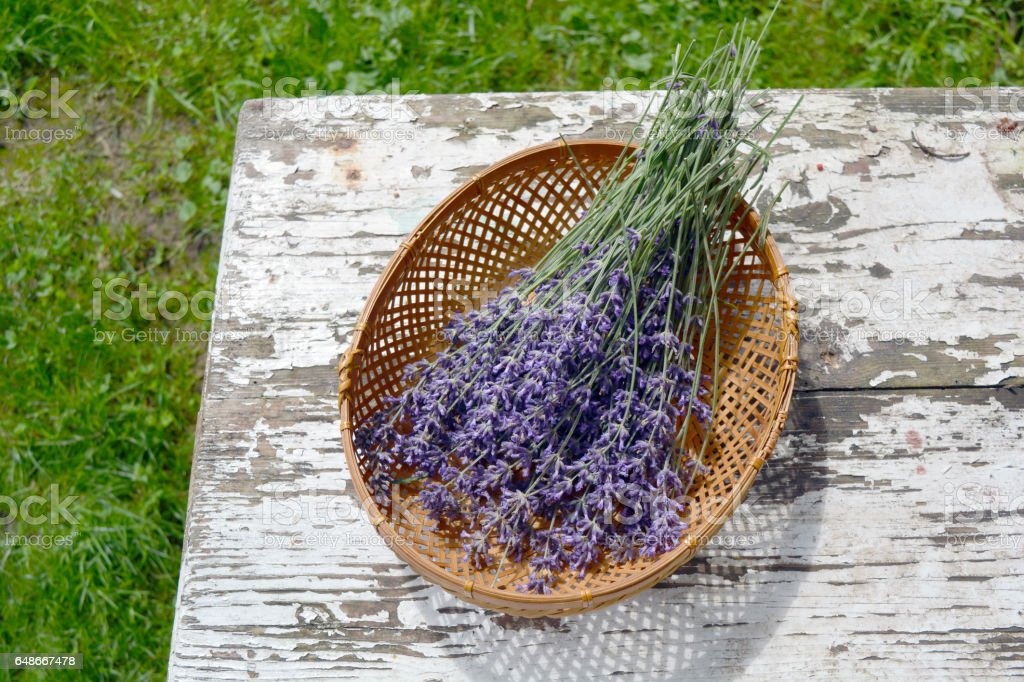 bunch fresh medical lavender herb flowers in basket stock photo