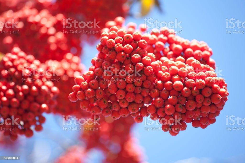 bunch of ashberries stock photo