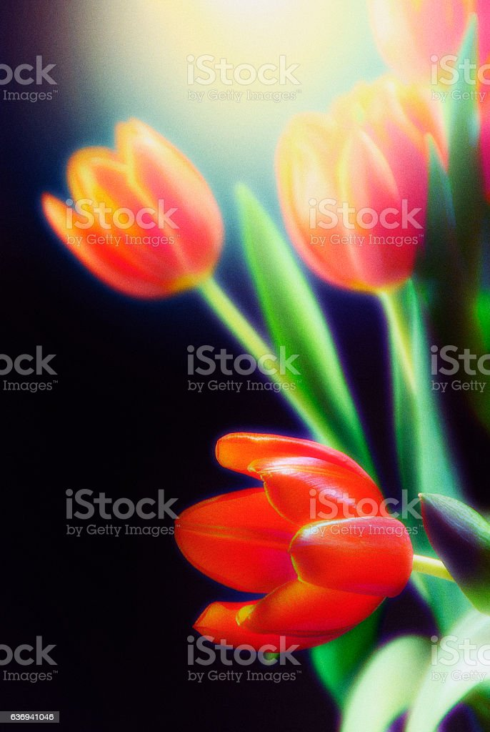 Bunch of backlit tulips on black background stock photo