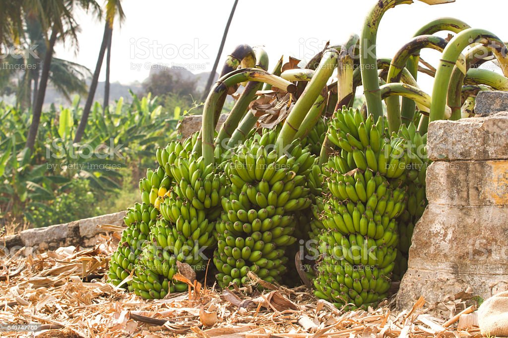 Bunch of bananas on a banana plantation in India stock photo
