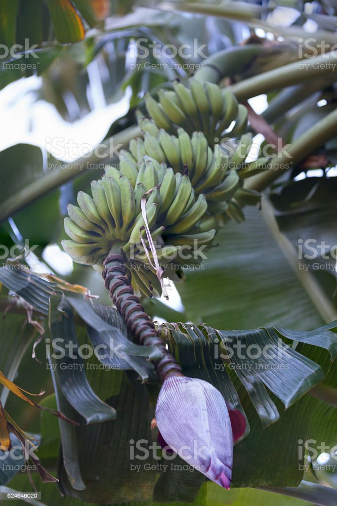 Bunch of bananas with their inflorescence stock photo