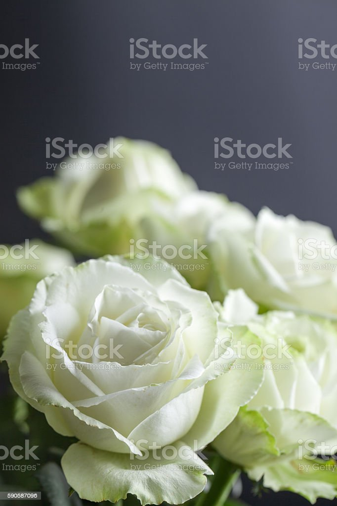 bunch of beautiful white roses with black background stock photo
