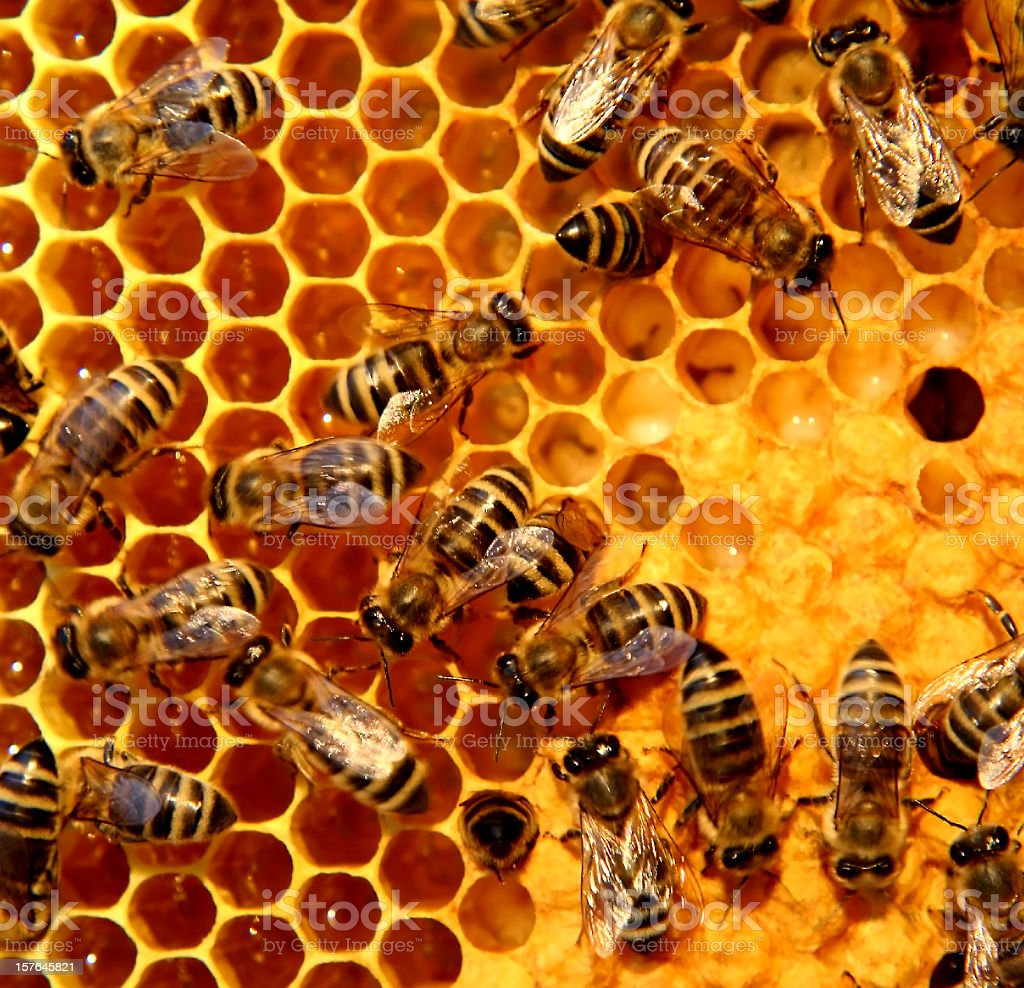A bunch of bees on a honeycomb royalty-free stock photo