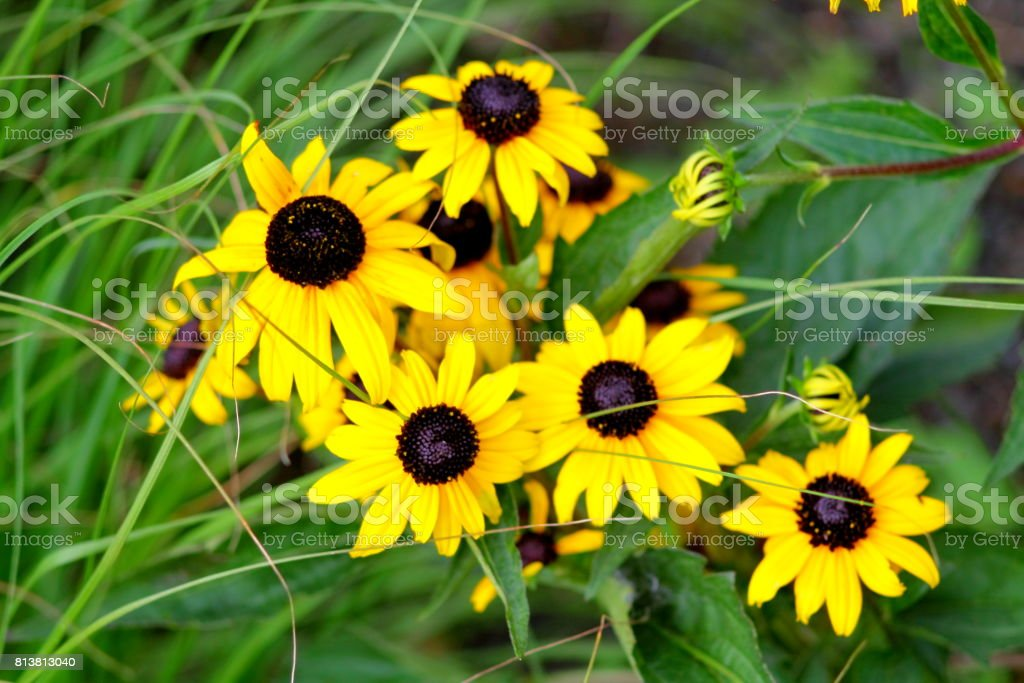 Bunch of black eyed susan flowers. Yellow flowers in flowerbed. stock photo