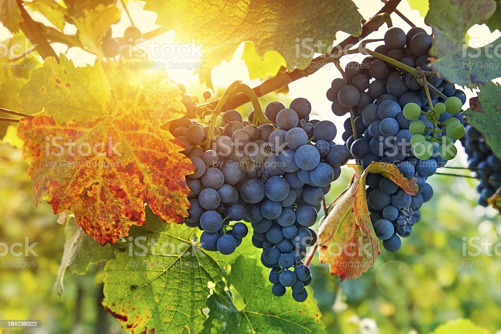 Bunch of black grapes stock photo