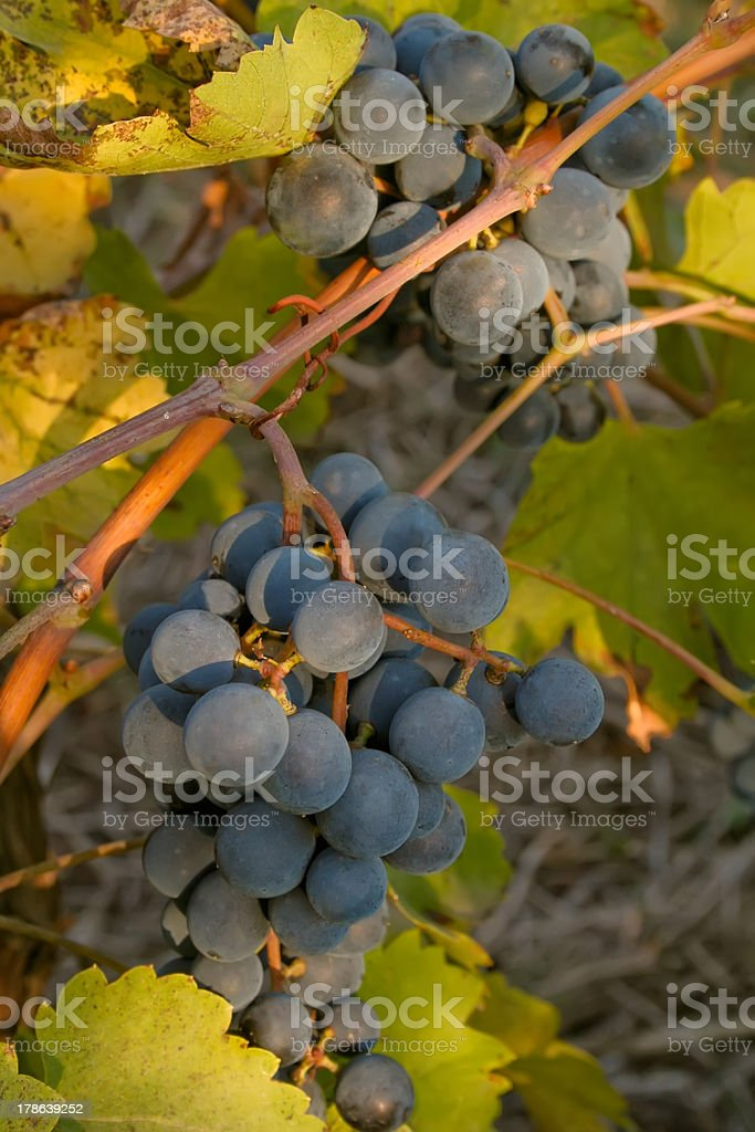 Bunch of black ripe wine grapes on the vine royalty-free stock photo
