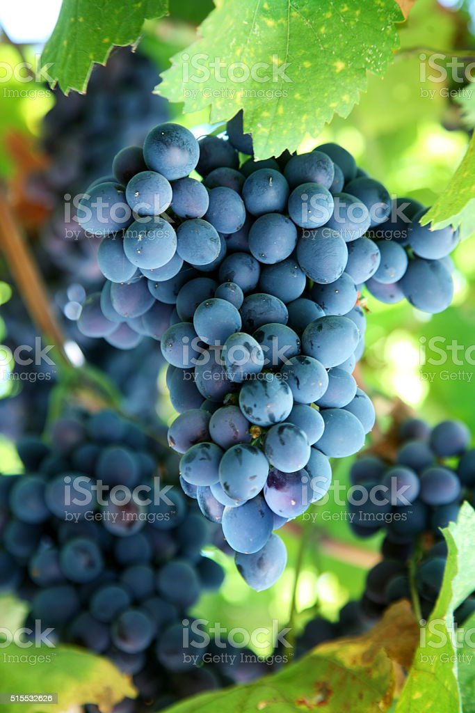 Bunch of blue grapes. stock photo