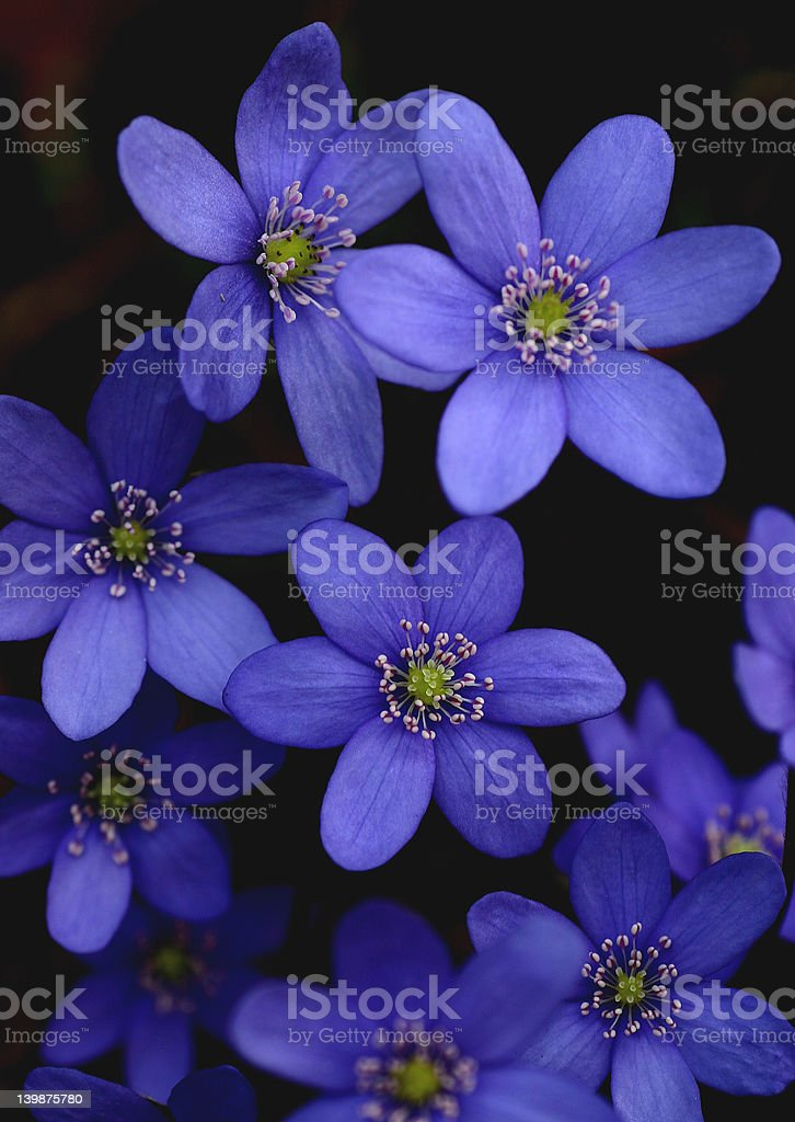 Bunch of blue hepatica-flowers royalty-free stock photo