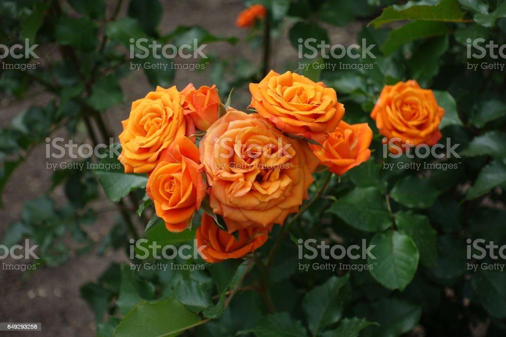 Bunch of bright orange flowers of rose stock photo