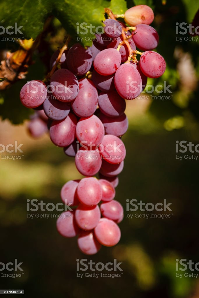 Bunch of Cape grapes stock photo