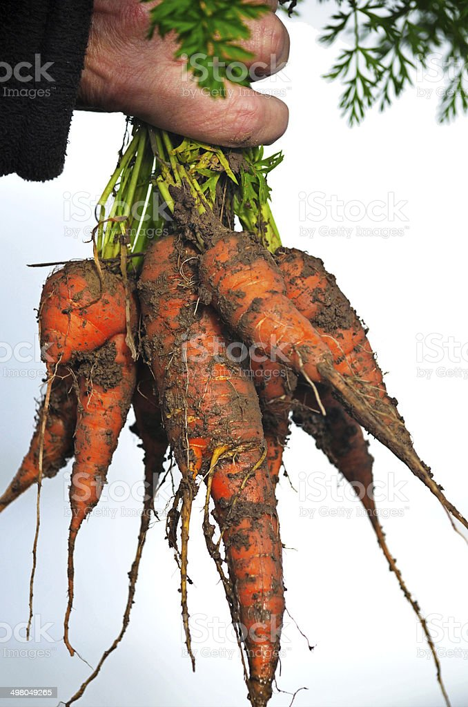Bunch of Carrots Straight from The Ground royalty-free stock photo