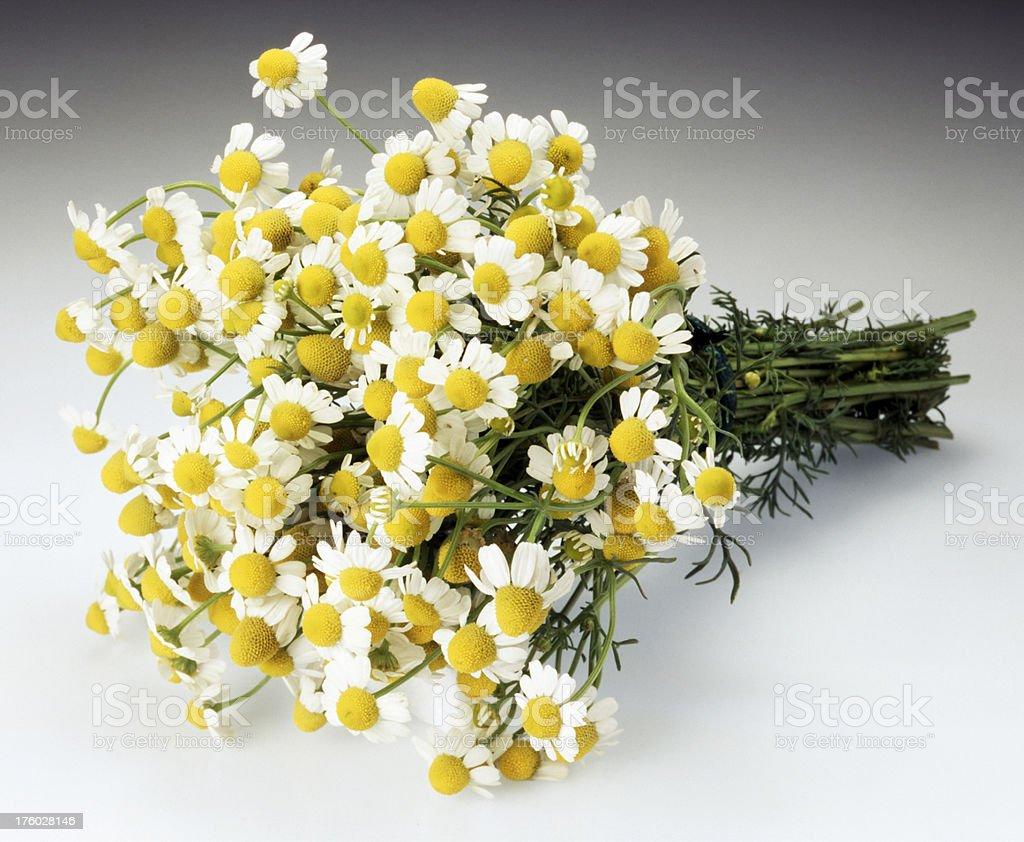 Bunch of chamomile flowers royalty-free stock photo