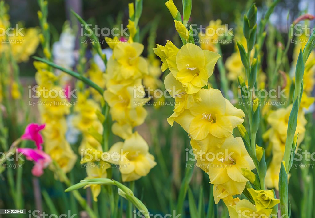 Bunch of colorful Gladiolus flowers in garden stock photo