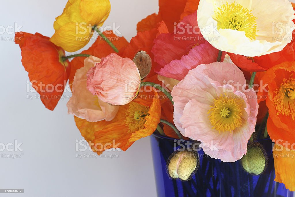 bunch of colorful iceland poppies in blue vase, papaver naudicaule royalty-free stock photo