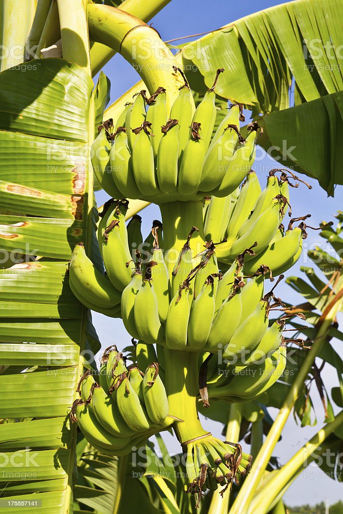 Bunch of Cultivated banana royalty-free stock photo