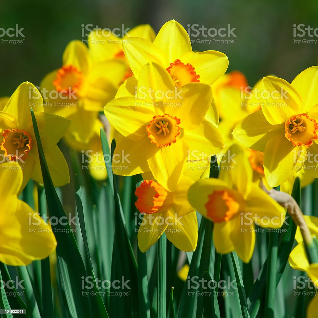 Bunch of daffodils, Narcissus 'Orangery' cultivar - II stock photo