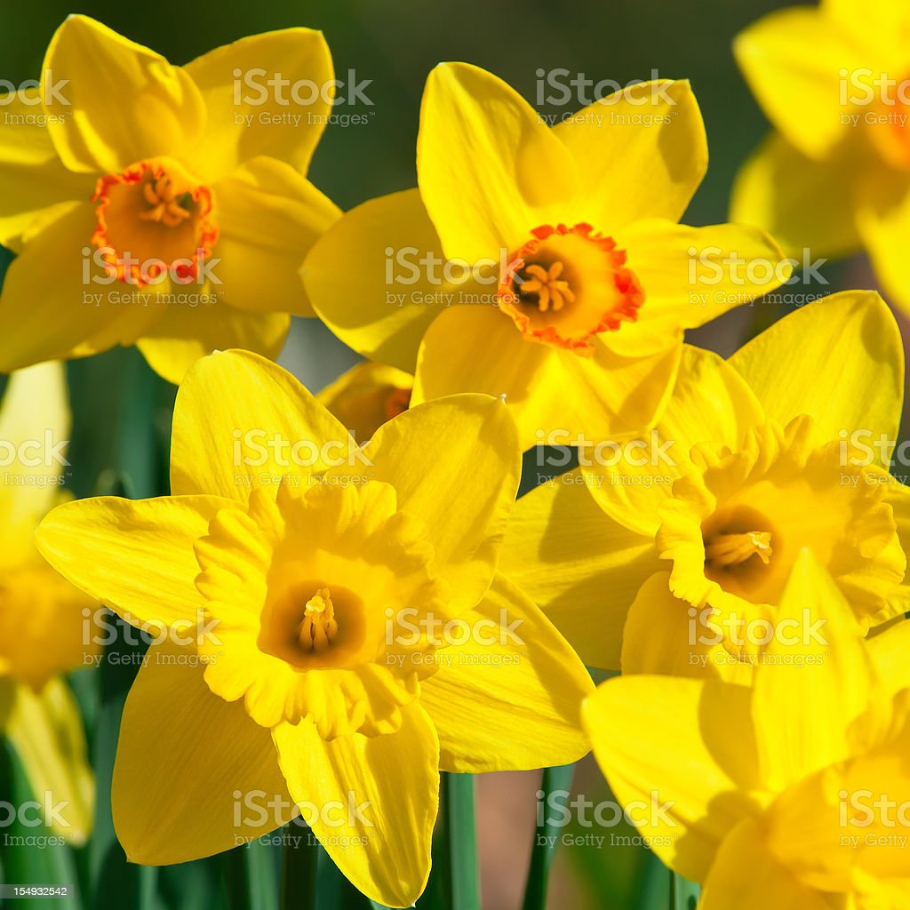 Bunch of daffodils, Narcissus 'Orangery' cultivar - V royalty-free stock photo